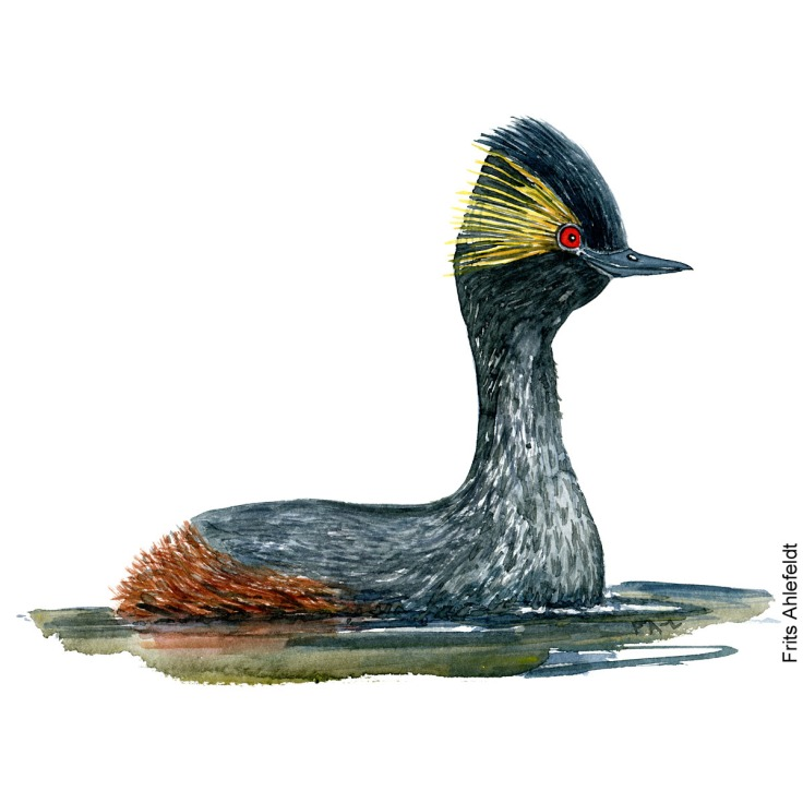 Black-necked grebe Bird watercolor illustration handmade by Frits Ahlefeldt