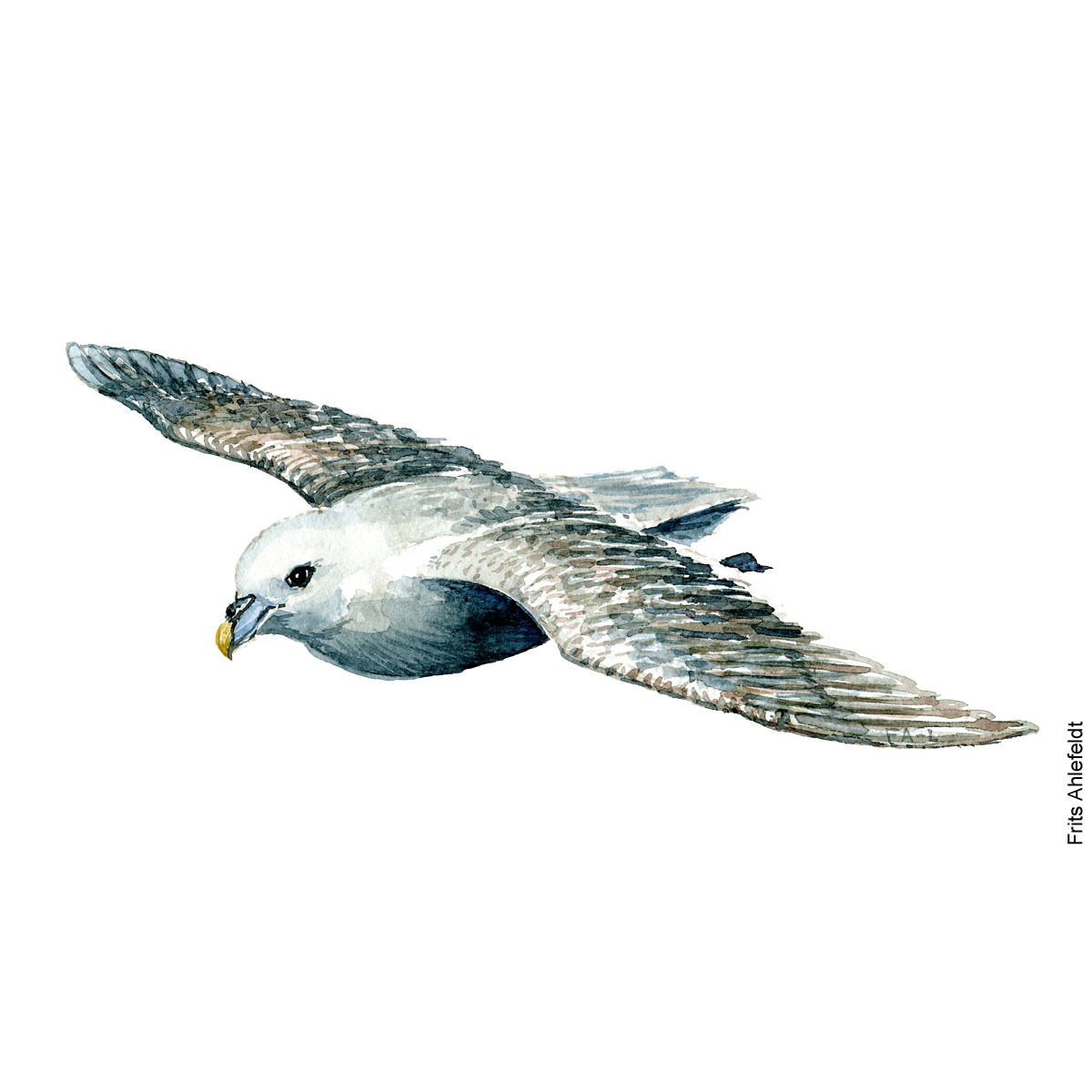 Northern fulmar Bird watercolor illustration handmade by Frits Ahlefeldt