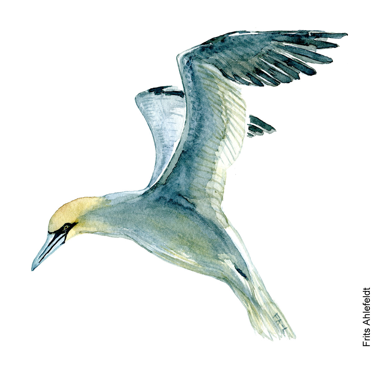Northern gannet. Bird watercolor illustration handmade by Frits Ahlefeldt