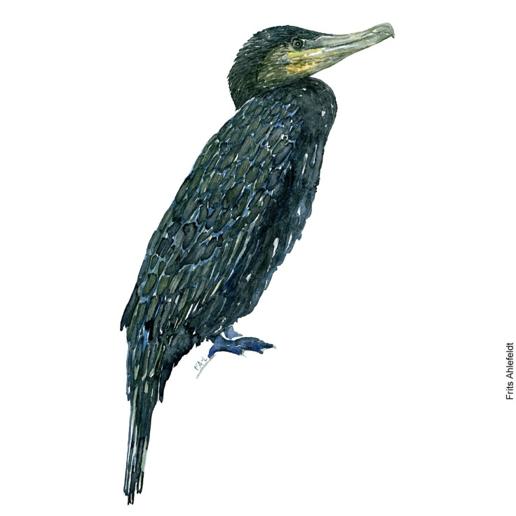 Sitting great cormorant. Bird watercolor illustration handmade by Frits Ahlefeldt
