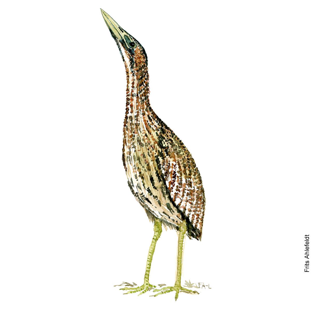 Northern bittern Bird watercolor illustration handmade by Frits Ahlefeldt