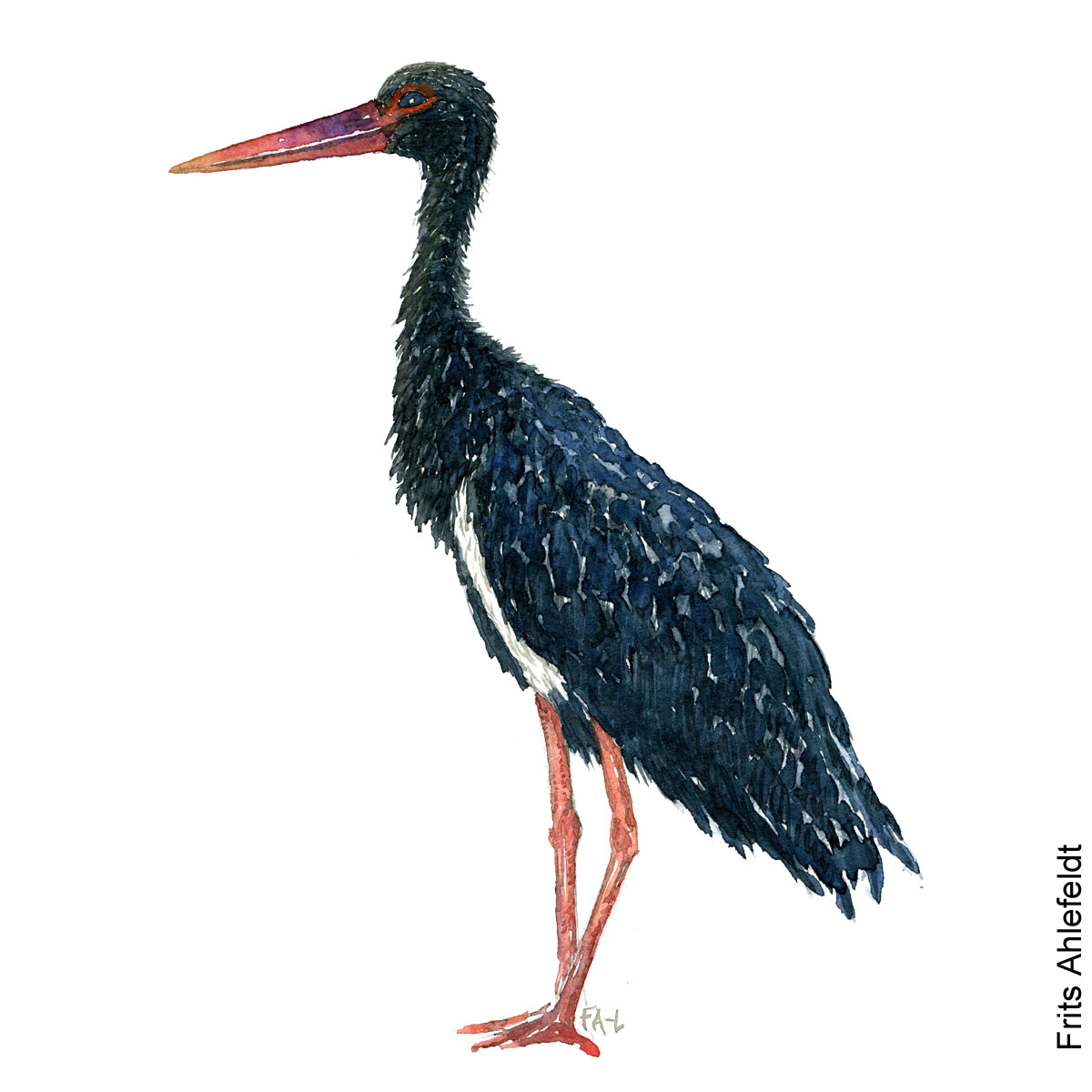 Black stork Bird watercolor illustration handmade by Frits Ahlefeldt