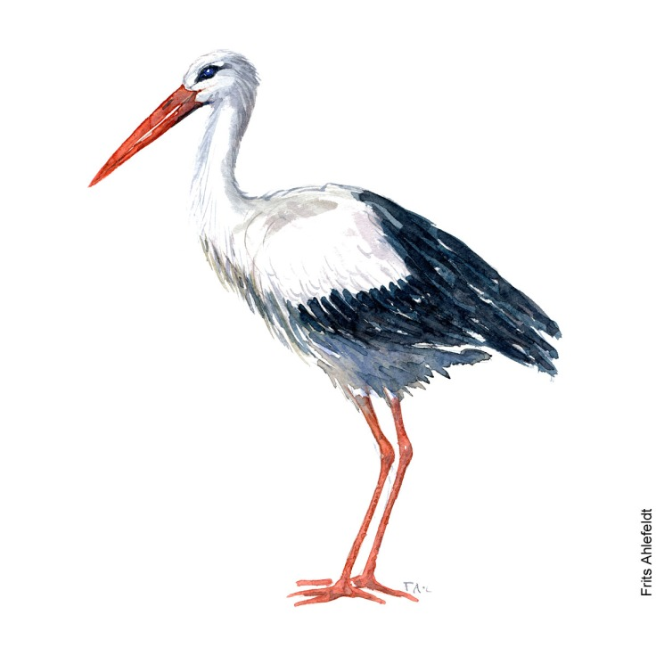 White stork Bird watercolor illustration handmade by Frits Ahlefeldt