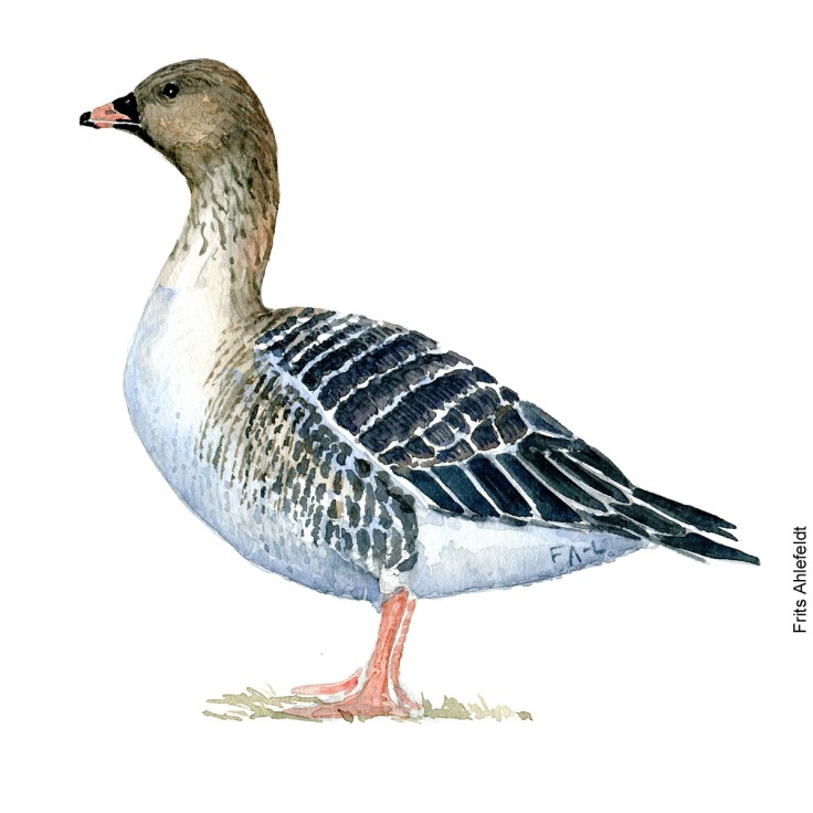 Pink footed goose. Bird watercolor illustration handmade by Frits Ahlefeldt