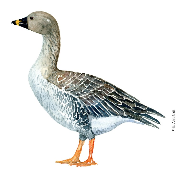 Bean goose. Bird watercolor illustration handmade by Frits Ahlefeldt