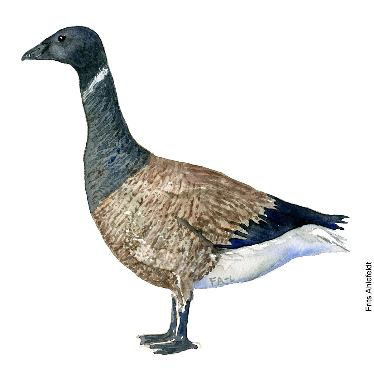 Brant goose. Bird watercolor illustration handmade by Frits Ahlefeldt