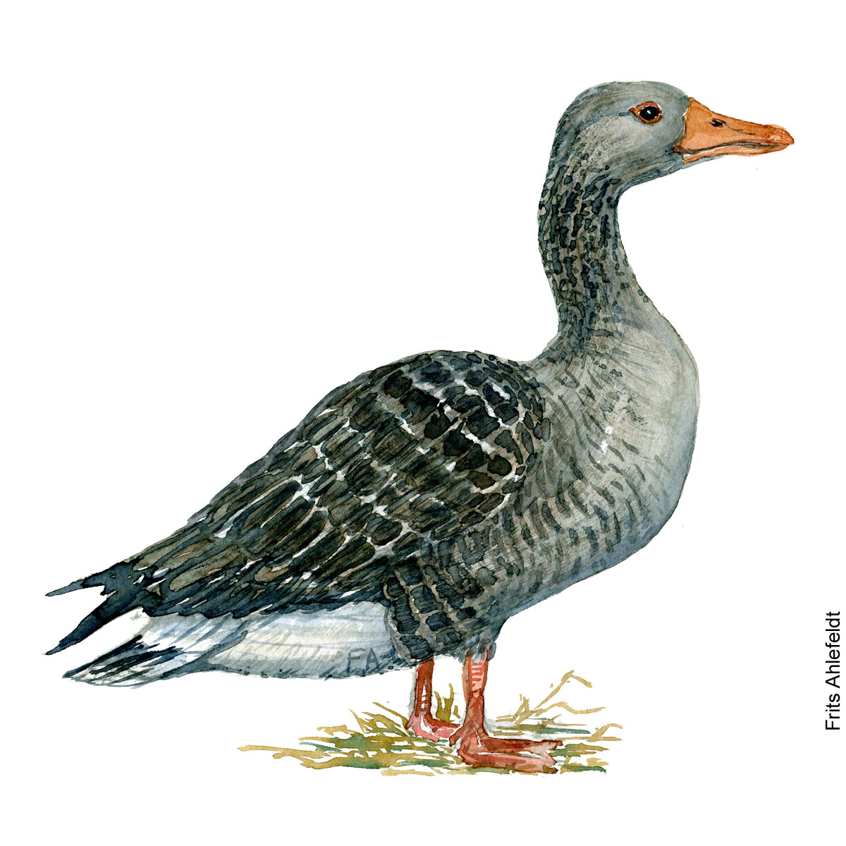Greylag goose. Bird watercolor illustration handmade by Frits Ahlefeldt