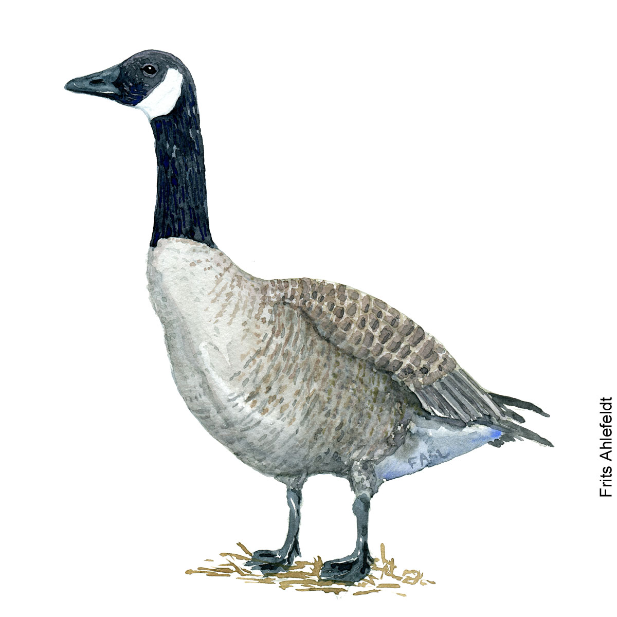 Canada goose. Bird watercolor illustration handmade by Frits Ahlefeldt