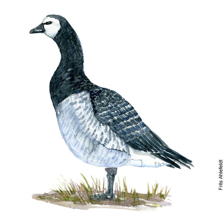 Barnacle goose. Bird watercolor illustration handmade by Frits Ahlefeldt
