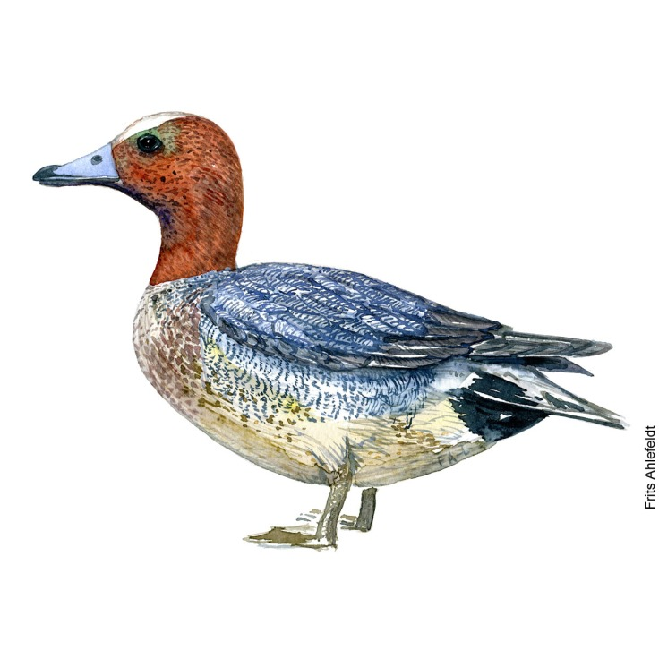 Eurasian wigeon duck. Bird watercolor illustration handmade by Frits Ahlefeldt