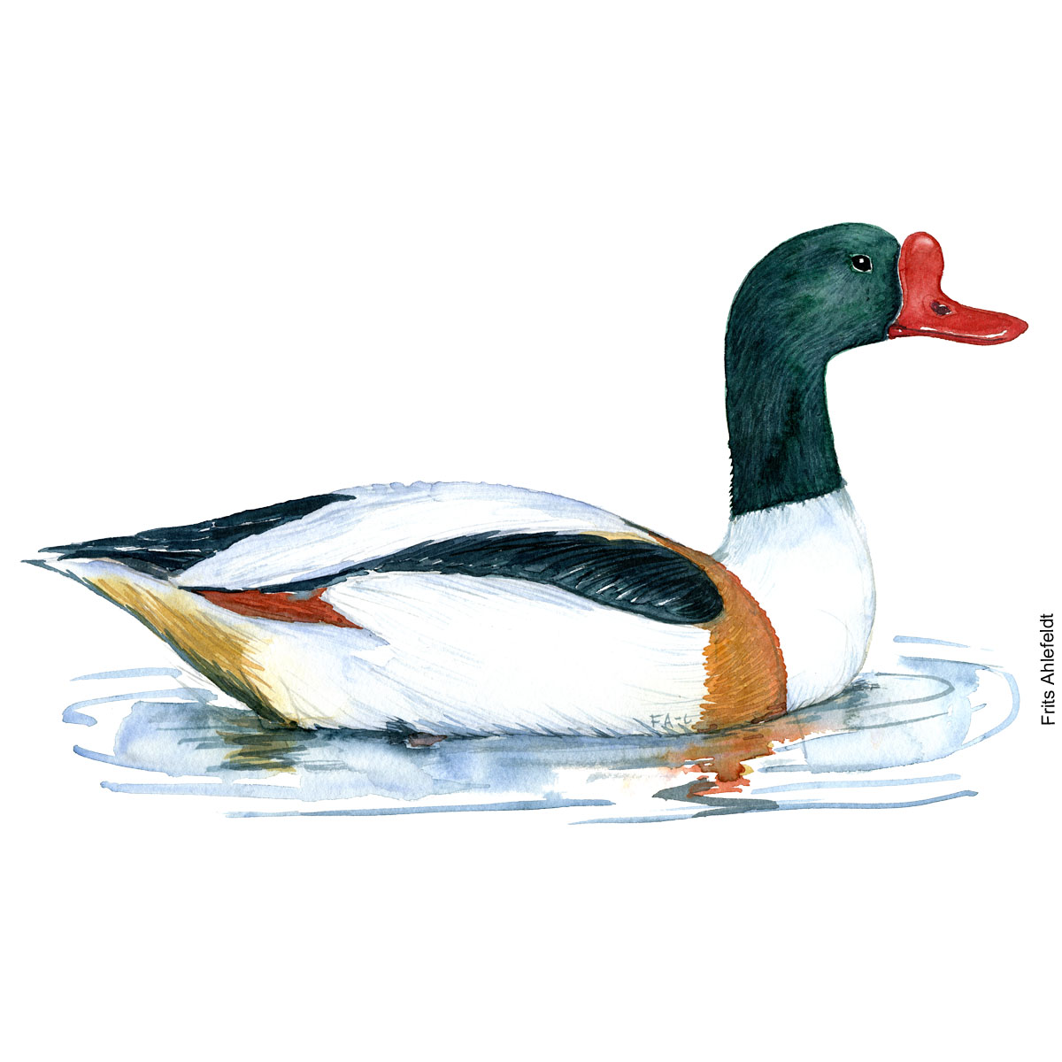 Common shelduck. Bird watercolor illustration handmade by Frits Ahlefeldt