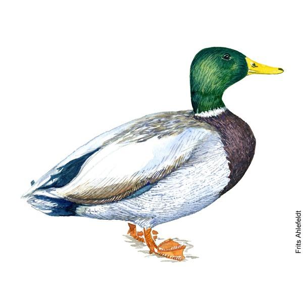 Mallard duck. Bird watercolor illustration handmade by Frits Ahlefeldt