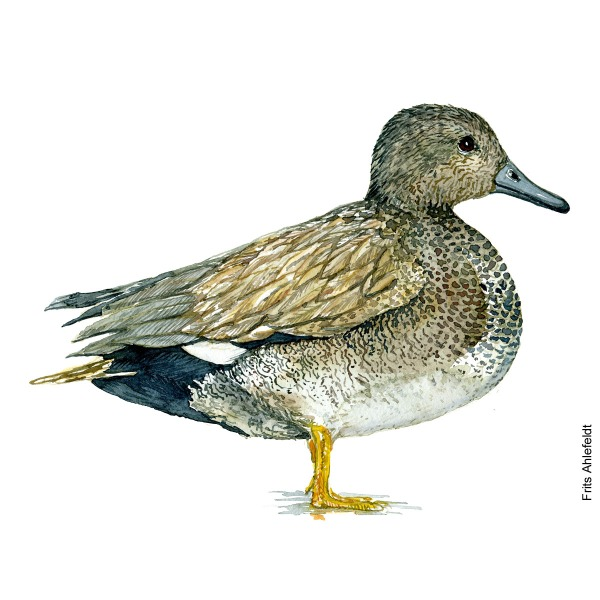 Gadwall ducBird watercolor illustration handmade by Frits Ahlefeldtk.