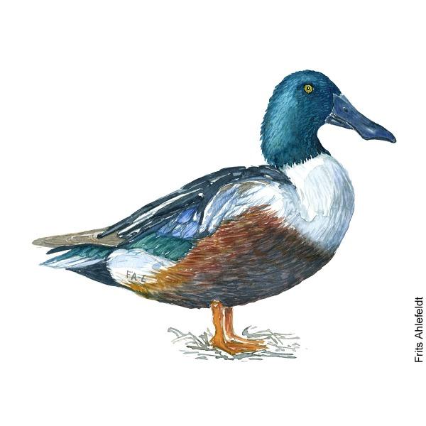 Northern shoveler duck. Bird watercolor illustration handmade by Frits Ahlefeldt