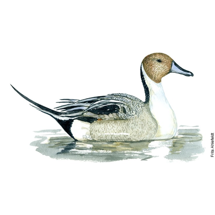 Northern pintail duck. Bird watercolor illustration handmade by Frits Ahlefeldt