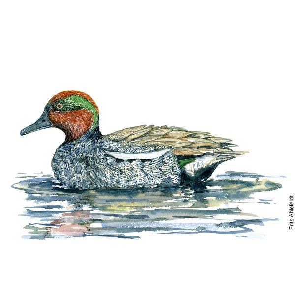 Eurasian teal duck. Bird watercolor illustration handmade by Frits Ahlefeldt