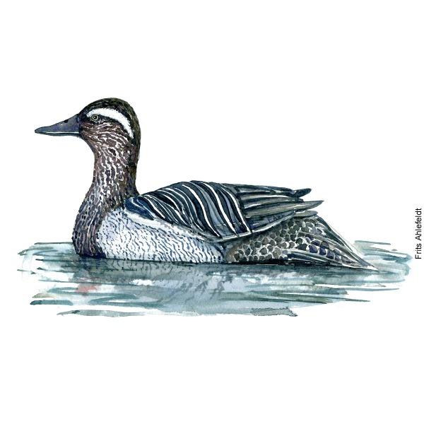 Garganey duck. Bird watercolor illustration handmade by Frits Ahlefeldt