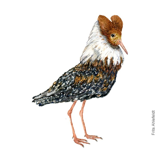 Reddish ruff. Bird watercolour illustration handmade by Frits Ahlefeldt