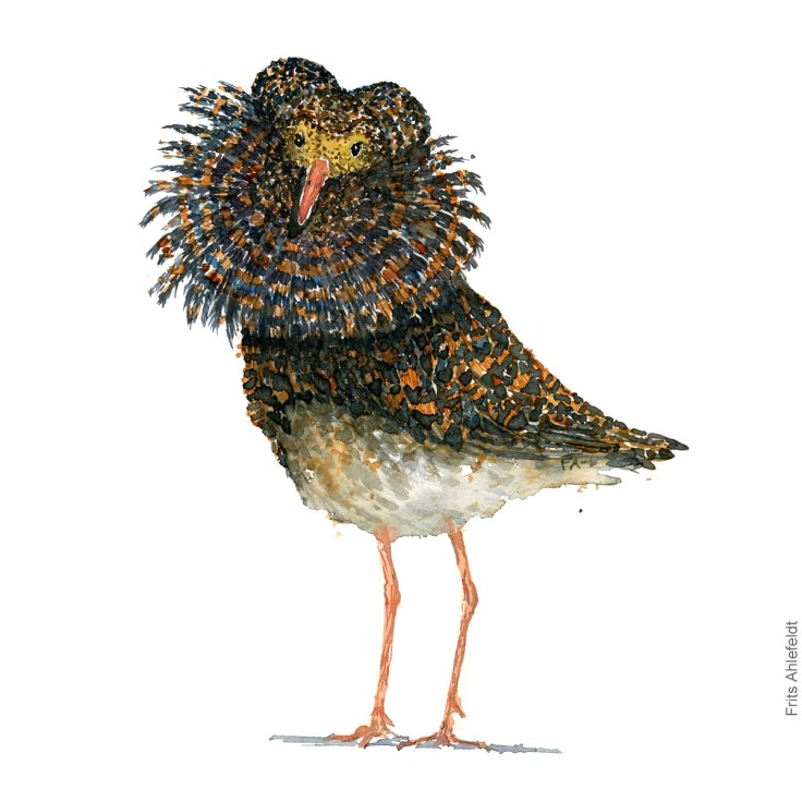 Yellow faced ruff. Bird watercolour illustration handmade by Frits Ahlefeldt