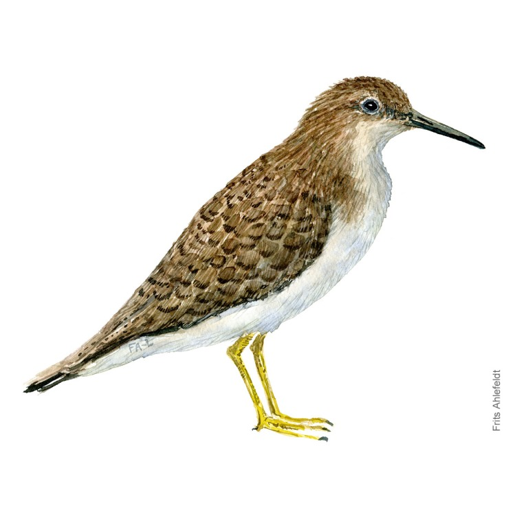 Common sandpiper. Bird watercolour illustration handmade by Frits Ahlefeldt
