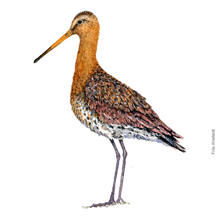 Black-tailed godwit. Bird watercolour illustration handmade by Frits Ahlefeldt