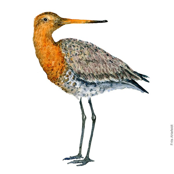 Black-tailed godwit. Bird watercolour illustration handmade by Frits Ahlefeldt