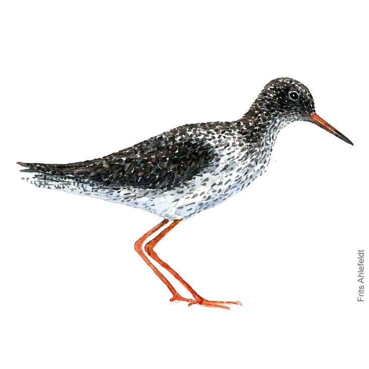 Common redshank. Bird watercolour illustration handmade by Frits Ahlefeldt