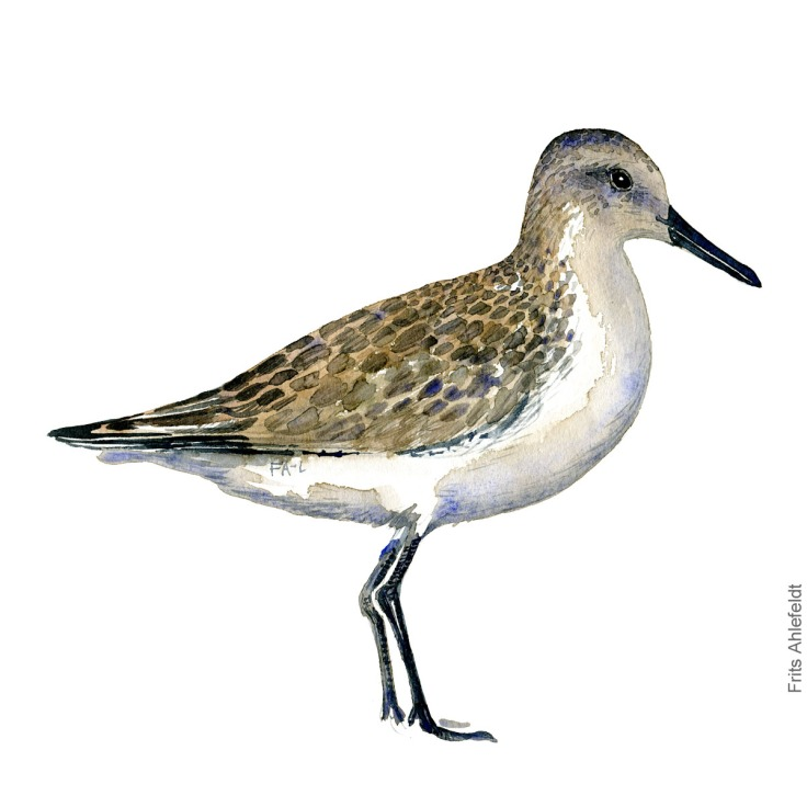 Dunlin. Bird watercolour illustration handmade by Frits Ahlefeldt