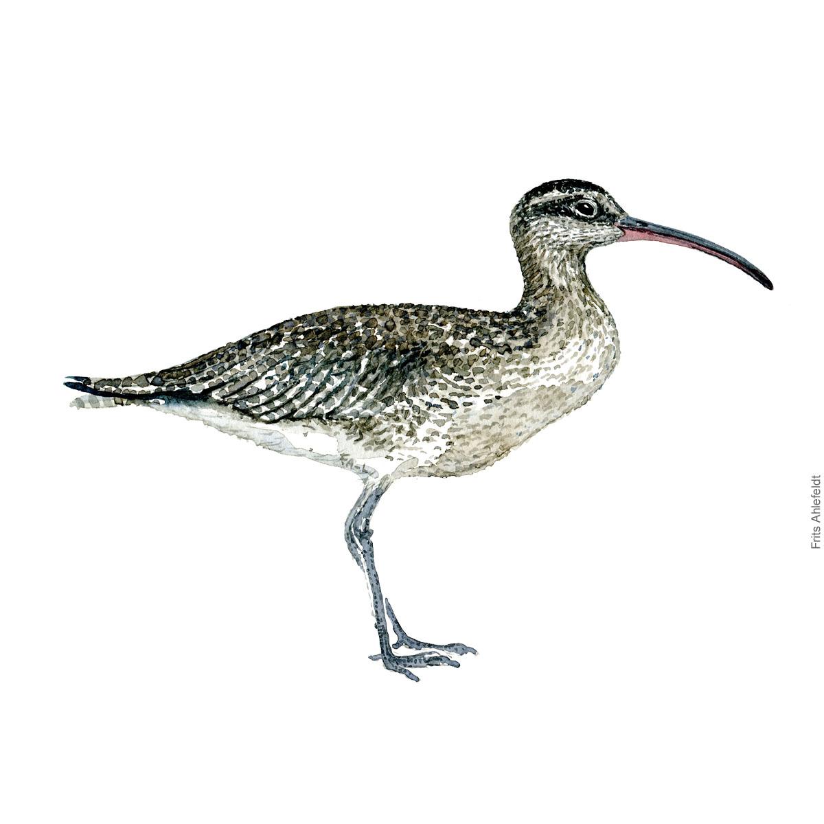 Eurasian curlew. Bird watercolour illustration handmade by Frits Ahlefeldt
