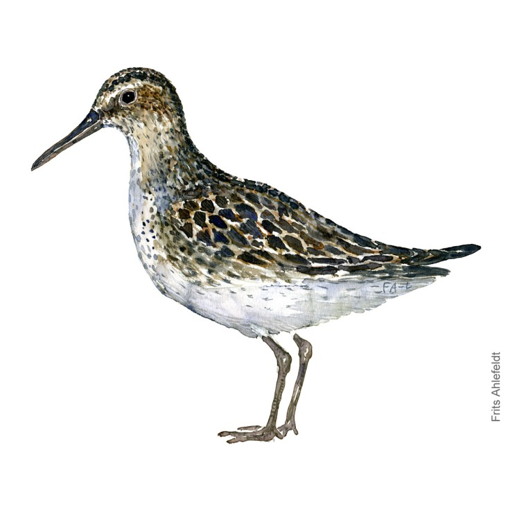 Broad-billed sandpiper. Bird watercolour illustration handmade by Frits Ahlefeldt