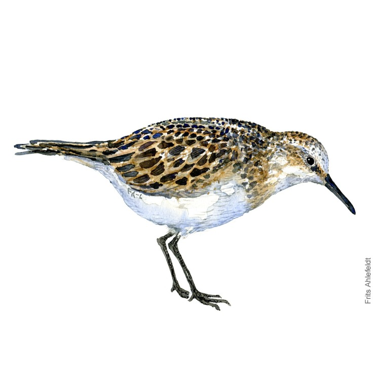 Little stint. Bird watercolour illustration handmade by Frits Ahlefeldt