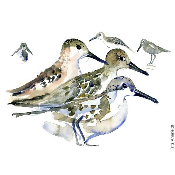 Dunlin group. Bird watercolour illustration handmade by Frits Ahlefeldt
