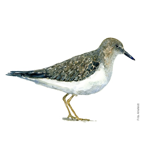 Temminck's stint Bird watercolour illustration handmade by Frits Ahlefeldt