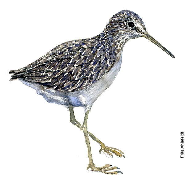 Green sandpiper Bird watercolour illustration handmade by Frits Ahlefeldt