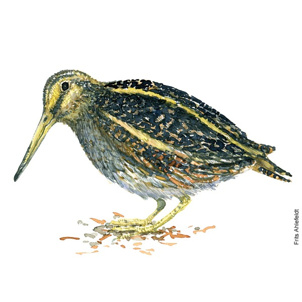 Jack snipe. Bird watercolour illustration handmade by Frits Ahlefeldt