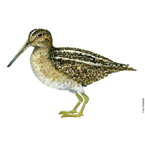 Common snipe. Bird watercolour illustration handmade by Frits Ahlefeldt