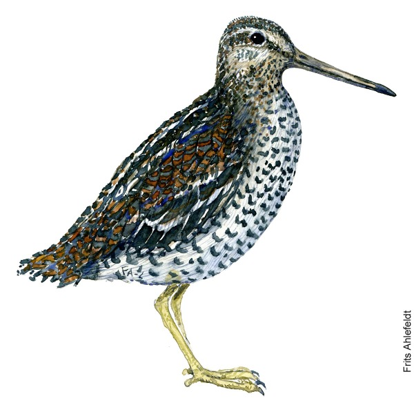 Great snipe. Bird watercolour illustration handmade by Frits Ahlefeldt