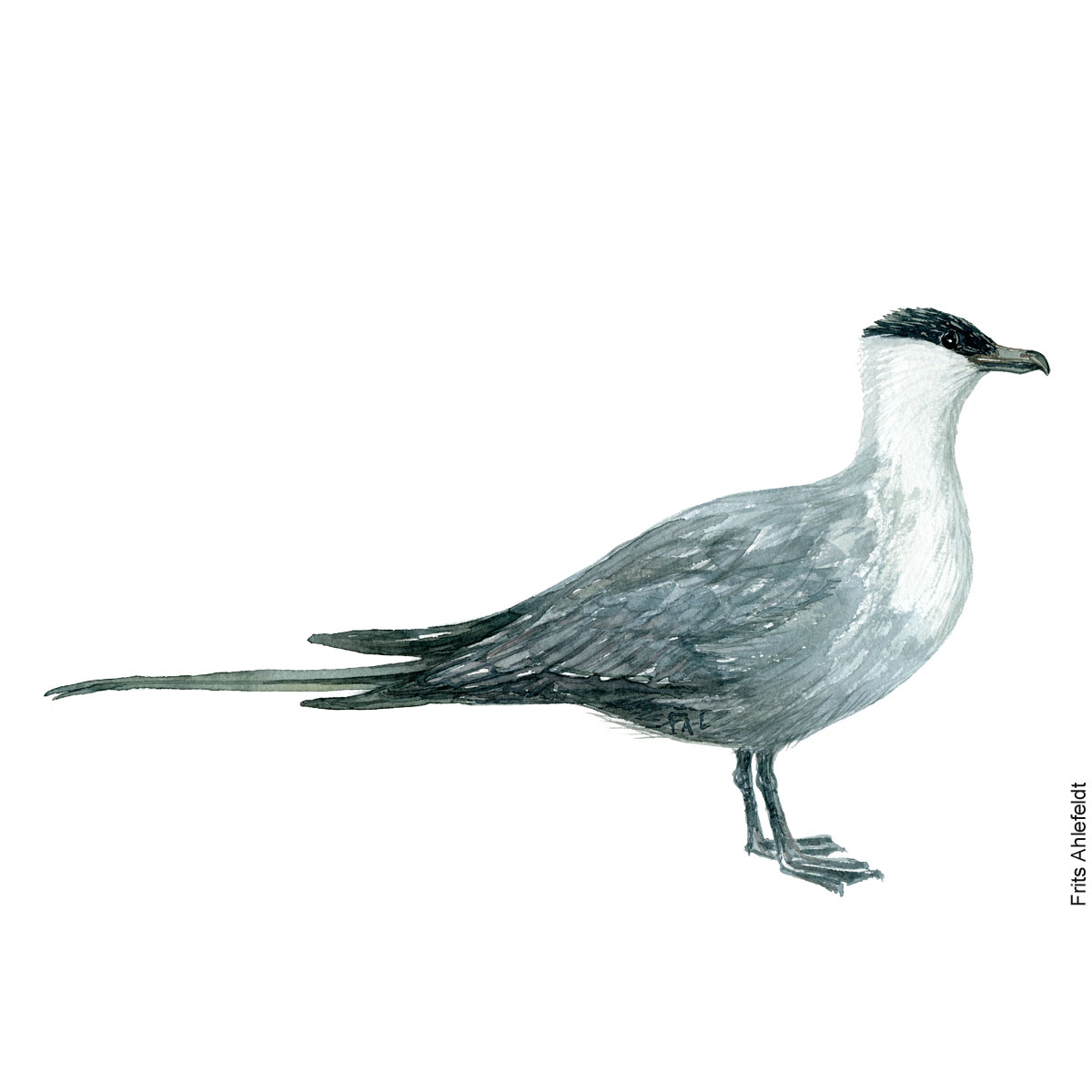 Long-tailed jaeger. Bird watercolor illustration handmade by Frits Ahlefeldt