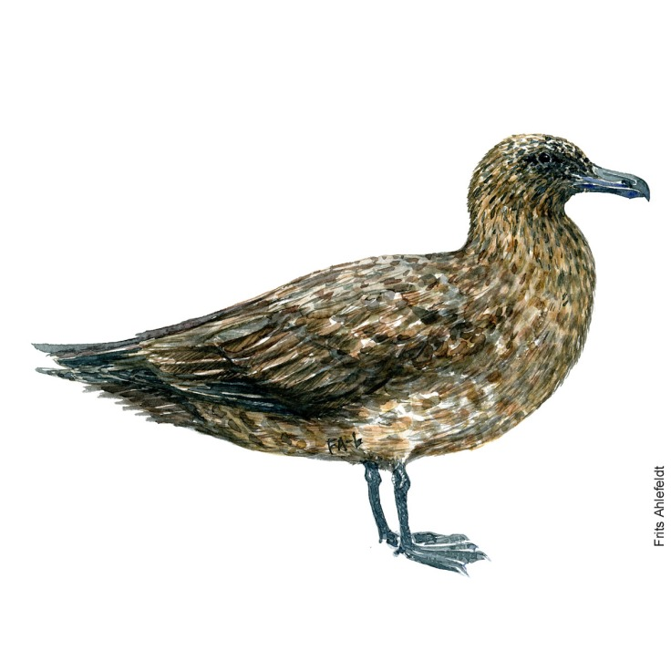 Great skua. Bird watercolor illustration handmade by Frits Ahlefeldt