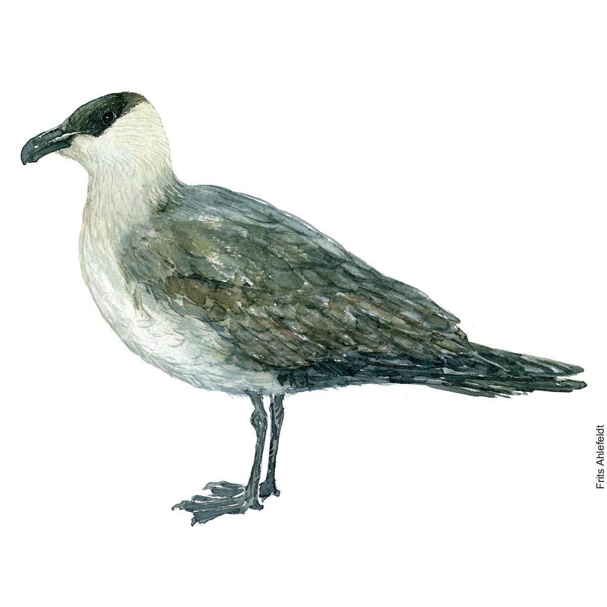 Parasitic jaeger. Bird watercolor illustration handmade by Frits Ahlefeldt
