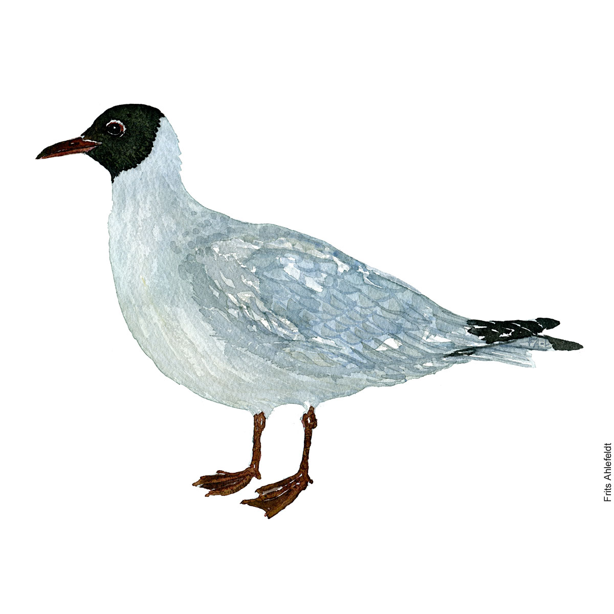 Black necked gull. Bird watercolor illustration handmade by Frits Ahlefeldt