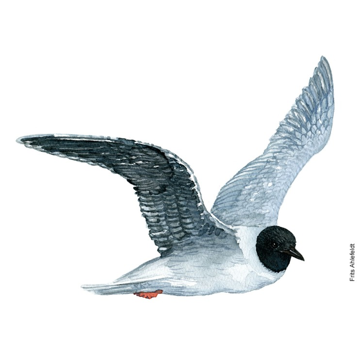 Little gull. Bird watercolor illustration handmade by Frits Ahlefeldt