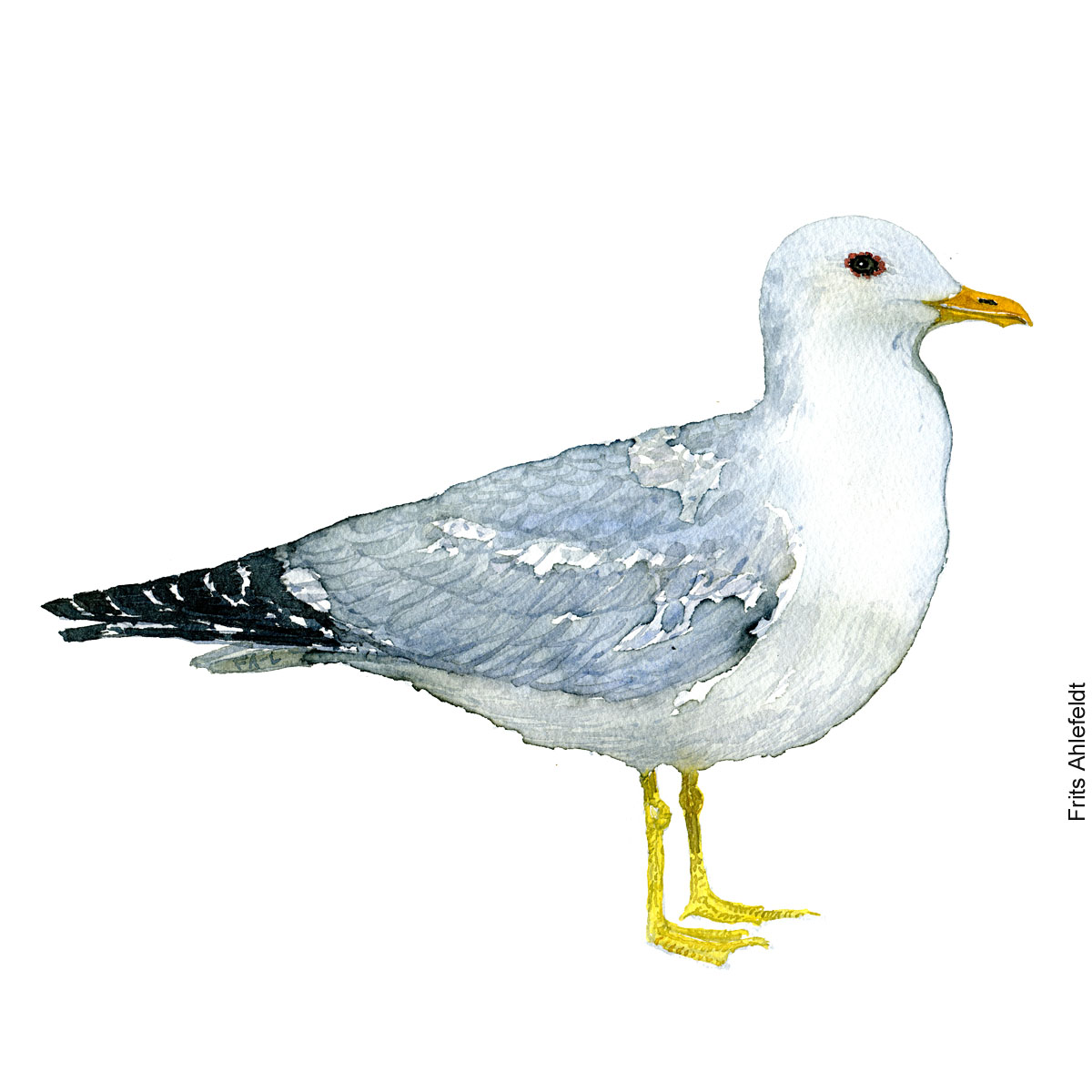 Common gull. Bird watercolor illustration handmade by Frits Ahlefeldt