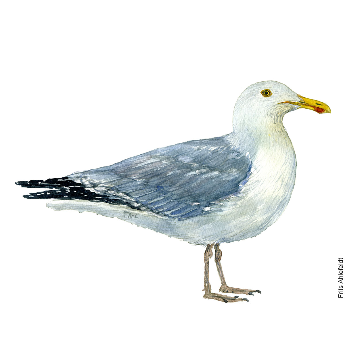 European herring gull. Bird watercolor illustration handmade by Frits Ahlefeldt