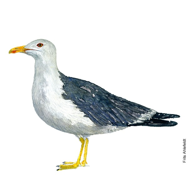 Lesser black-backed gull. Bird watercolor illustration handmade by Frits Ahlefeldt