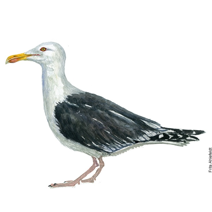 Great black-backed gull. Bird watercolor illustration handmade by Frits Ahlefeldt