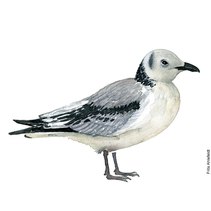 Young kittiwake. Bird watercolor illustration handmade by Frits Ahlefeldt