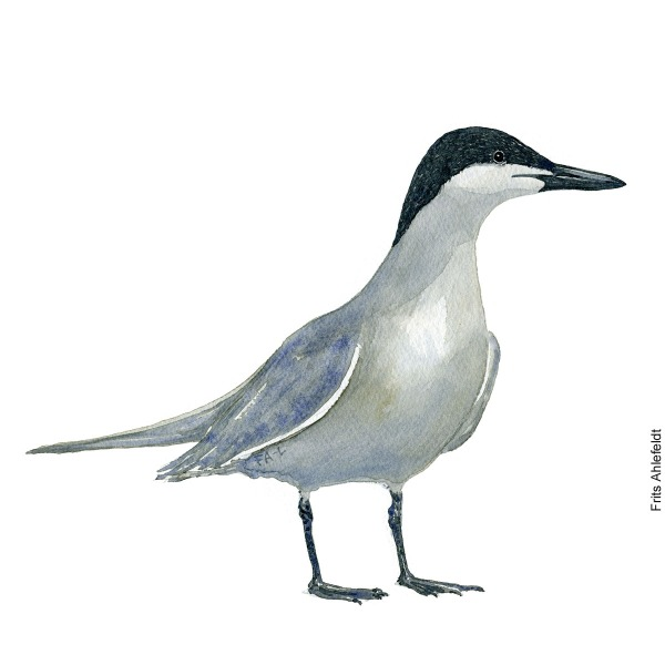 Gull-billed tern. Bird watercolor illustration handmade by Frits Ahlefeldt