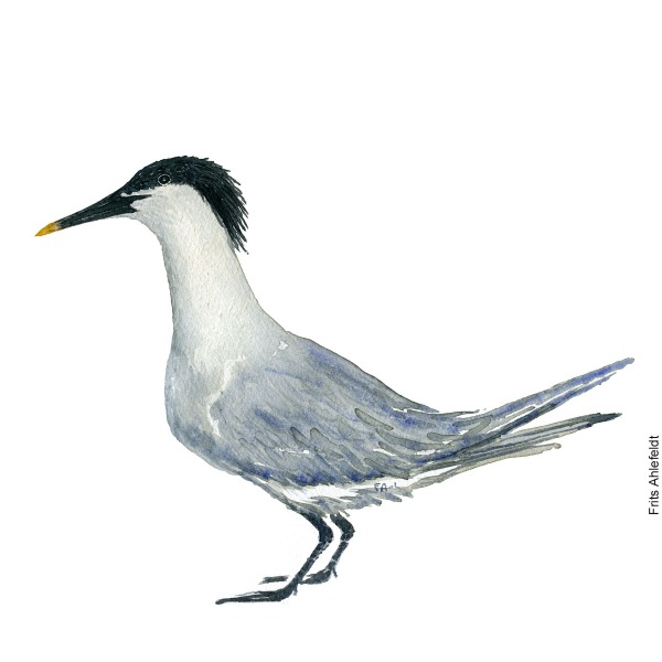 Sandwisch tern. Bird watercolor illustration handmade by Frits Ahlefeldt