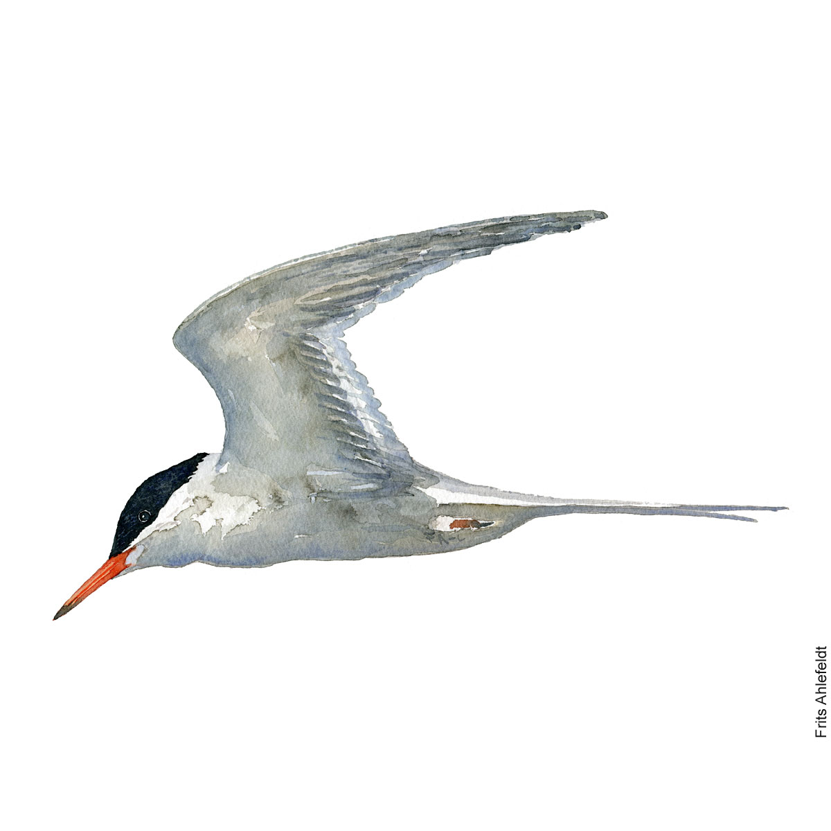 Common tern. Bird watercolor illustration handmade by Frits Ahlefeldt